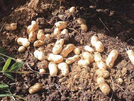 Grow Peanuts at Home