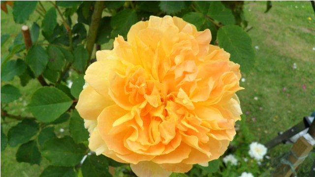double peach rose flower