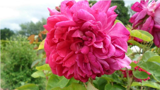 double rose pink flower