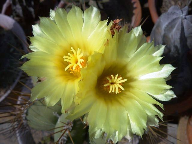 Yellow Flowers of Astrophytum Ornatum