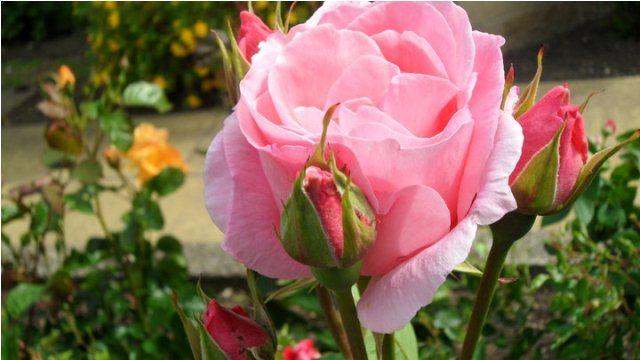 lovely pink rose bud