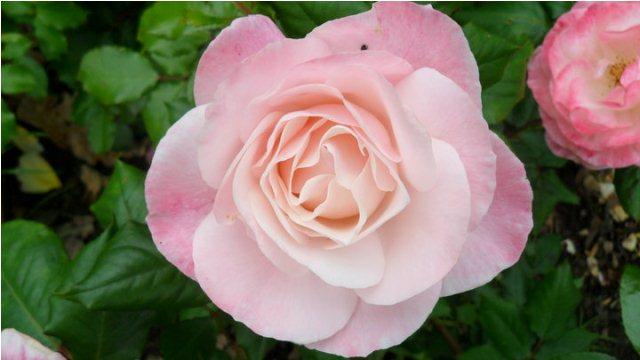 pink white rose
