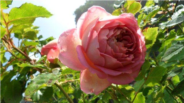 tea pink rose flower