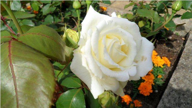 Roses Lovely Roses