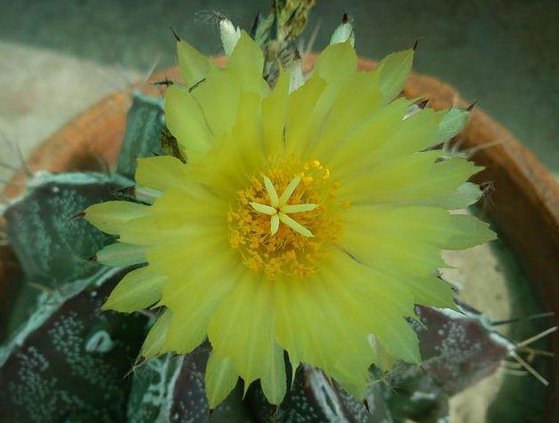Astrophytum Capricorne Yellow Flower