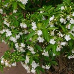 Crape Jasmine, Flowering Bush
