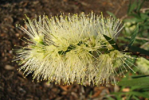 White Callistemon Flower