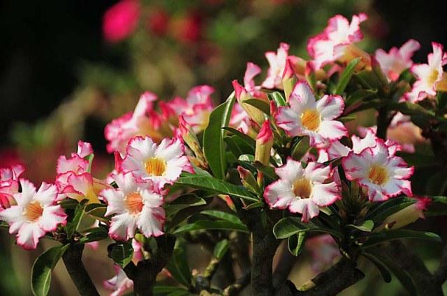 adenium flowers