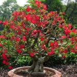 Adenium Obesum, The Desert Rose