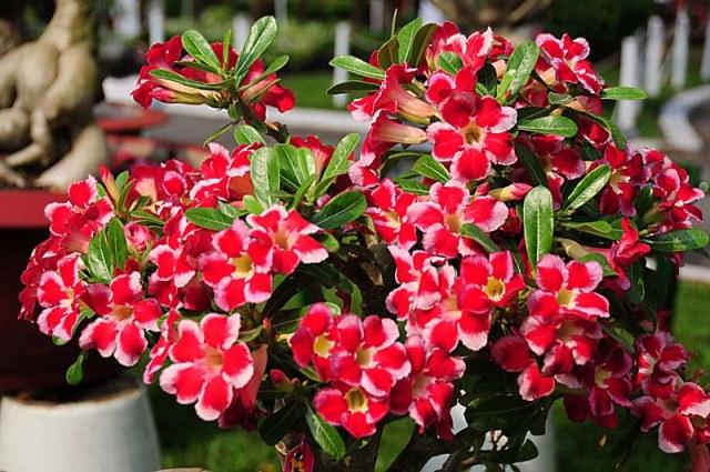 hybrid adenium flowers
