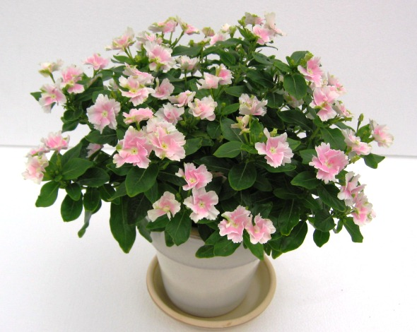 Catharanthus Roseus, Pink Flowers