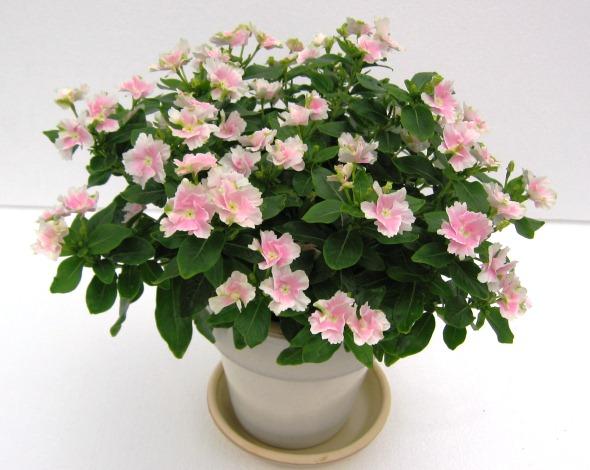 Catharanthus Roseus, Pink Flowers