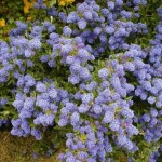Ceanothus, Lovely Flowering Shrubs for Cold Climates