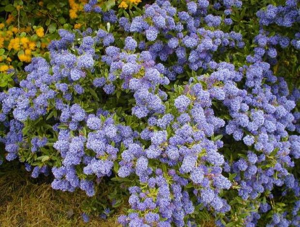 Ceanothus lovely flowering shrubs for cold climates ceanothus cynthia postan flowering shrub mightylinksfo
