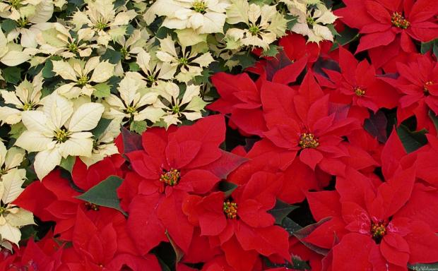 Colorful Pionsettia Shrub for indoor and outdoor Gardens
