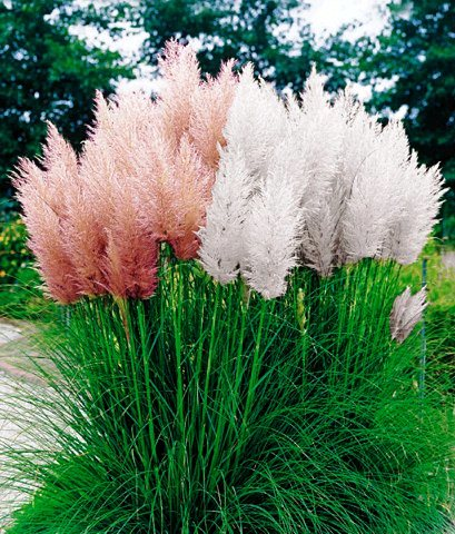 Cortaderoa Selloana, The Pampas Grass