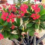 Euphorbia Milii, The Crown of Thorns