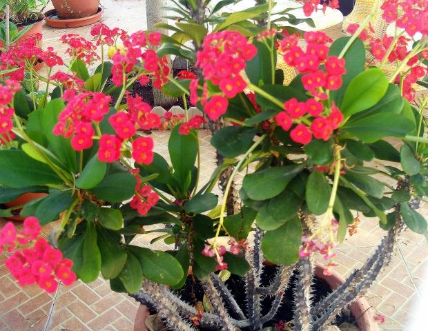 Euphorbia Milii Plant