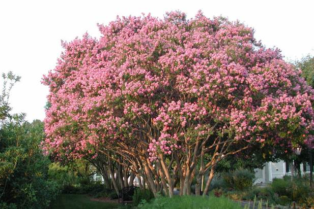 Lagerstroemia Flowering Shrubs And Trees
