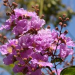 Lagerstroemia: Flowering Shrubs and Trees