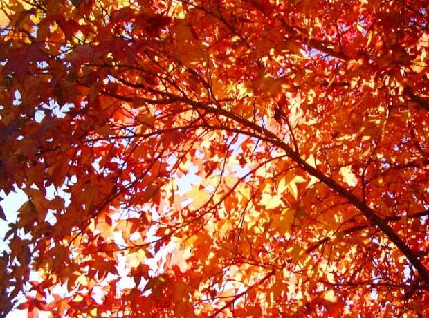 Liquidambar Styracifula, Sweetgum Tree