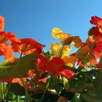 Nasturtium, Jewels in My Garden