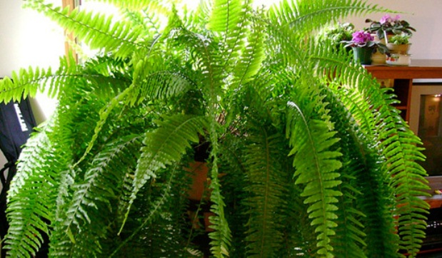 Nephrolepis Exaltala, Boston Fern