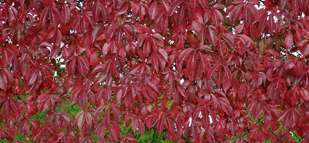 Parthenocissus Ornamental Clilmber and Creeper
