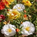 Dazzling, Lovely Flowers of Portulaca