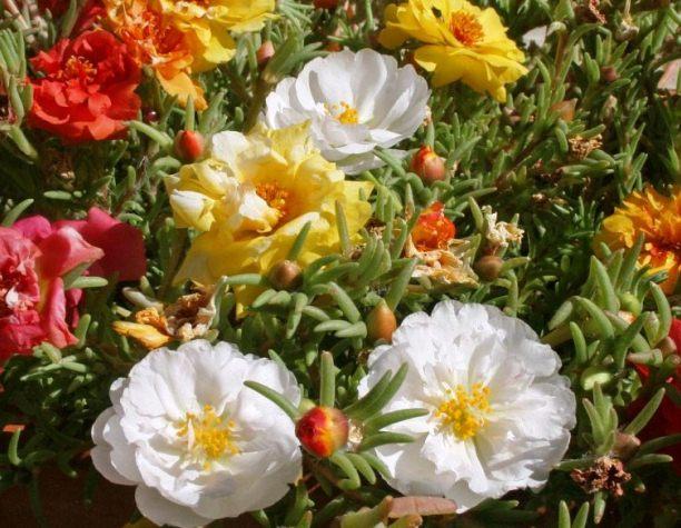Portulaca Grandiflora, Moss Rose