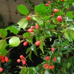 Lovely, Fruity Trees and Shrubs: Syzygium