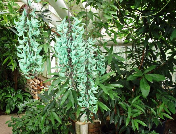 Unusual Flowers of Jade Vine