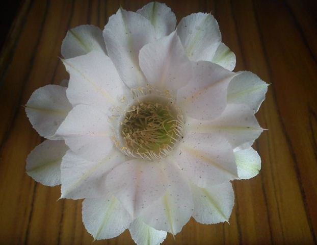 Echinopsis, White Flower