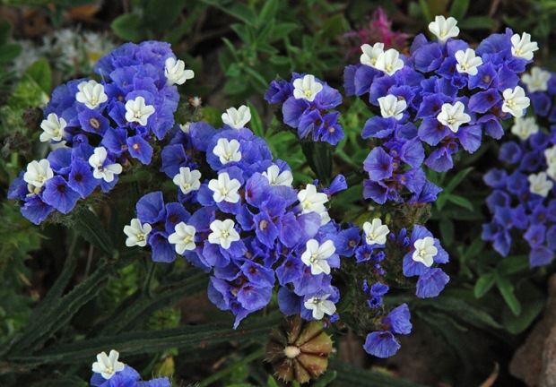 Flowers of Limonium Sinuatum