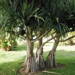 Beautiful Landscape Tree, Pandanus