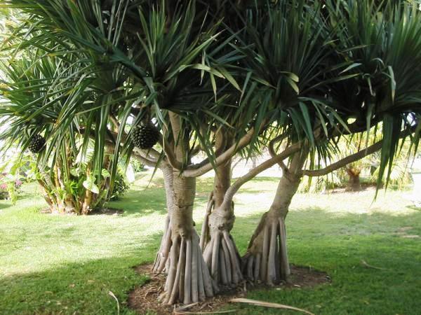 Pandanus Utilis, Landscape Tree
