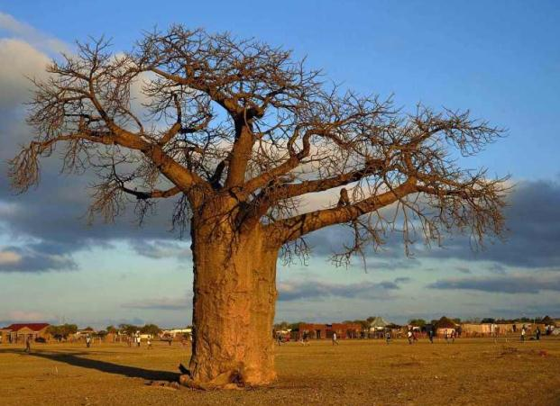 Baobab (Adansonia) in South Africa
