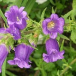 Colorful, Ornamental Flowering Plants: Bellflower