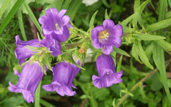 Bellflower Plant