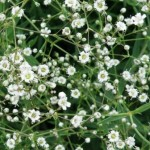 Decorative Flowering Plant: Gypsophila, Baby's Breath