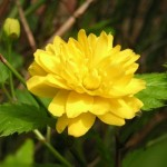 Kerria Japonica: Lovely Flowering Shrub for Beginners