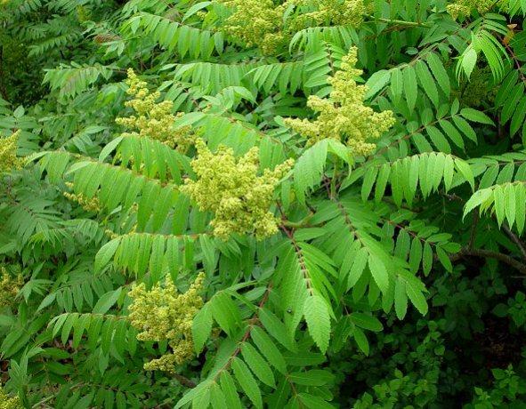 Rhus Glabra Tree