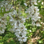 Ornamental Flowering Tree: Robinia