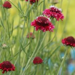 Scabiosa: Lovely Pincushion Flowers