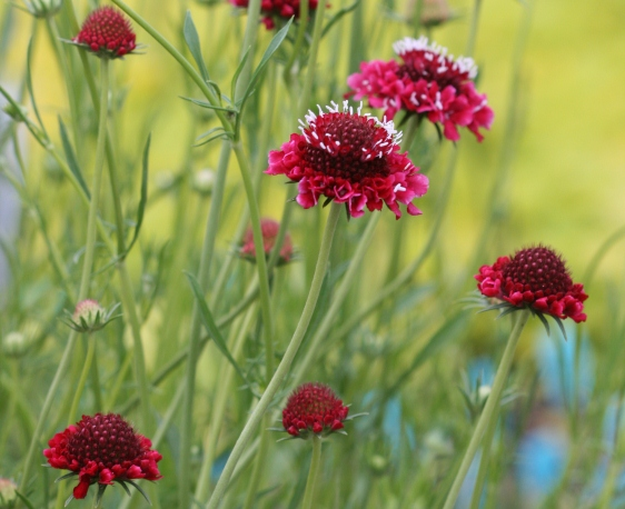 Scabiosa Atropurpurea, The Pincushion Flower