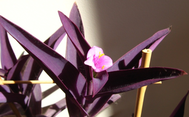 7 ornamental houseplants for beginners - Wandering jew plant name ...