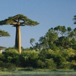 Old, Unusual Trees of Africa: Baobab