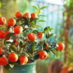 Calamondin: Easy to Grow, Easy to Love