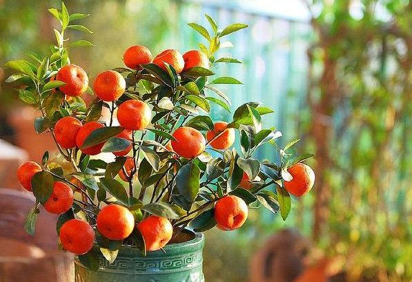 Calamondin, Citrus Fruit Plant