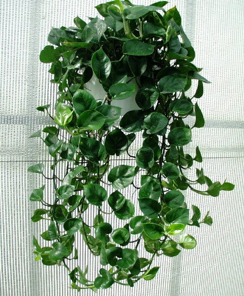 Epipremnum climber in indoor hanging basket